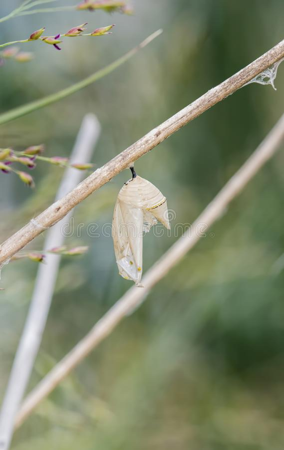 Monarch Butterfly Chrysalis Danaus plexippus Hanging from a Branch stock images