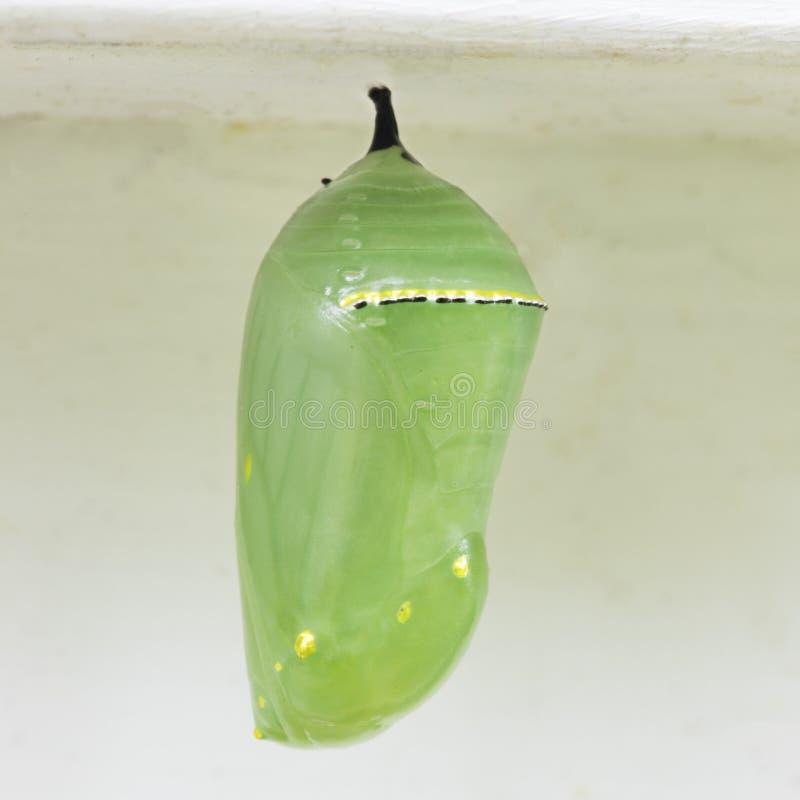 Monarch Butterfly Chrysalis fotografia de stock royalty free