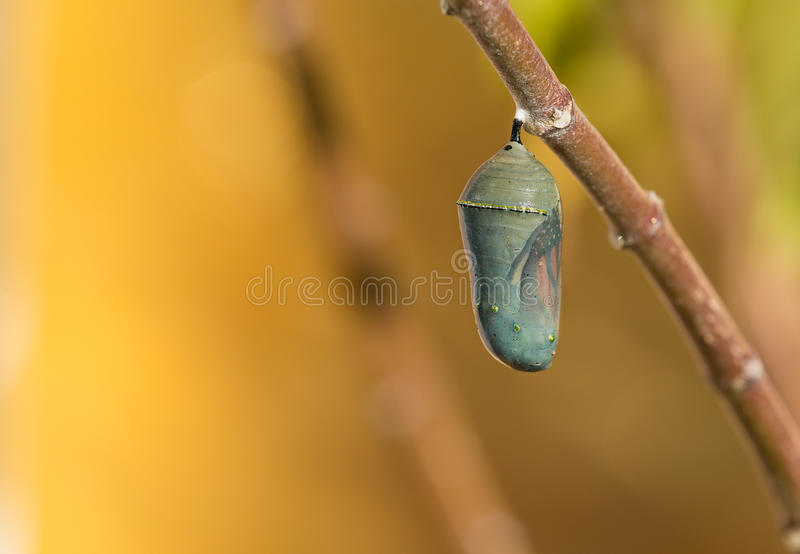 Monarch Butterfly Chrysalis. Getting ready to emerge on milkweed branch. Copy space stock photo