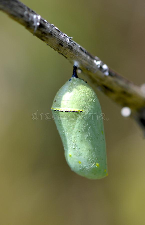Monarch Butterfly Chrysalis. A green and gold chrysalis or cocoon of the monarch butterfly, Danaus plexippus, attached to a twig stock image