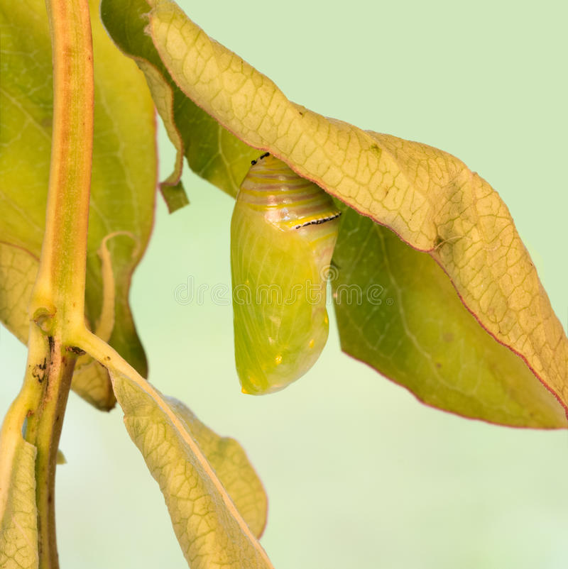 Monarch butterfly chrysalis. Right after pupation stock images