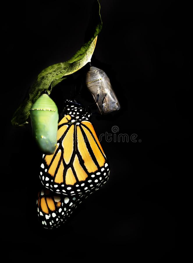 Monarch Butterfly Clinging to Empty Chrysalis. A recently hatched Monarch butterfly clinging to empty chrysalis, unhatched chrysalis slghtly blurred in stock photo