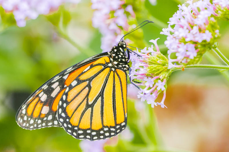 Monarch butterfly, close up macro shot. Of 150mm royalty free stock photos