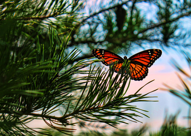 Monarch Butterfly Close-Up. The orange wings of a single Monarch butterfly - in detail - can be seen back lit, perching among the pine needles of a tree stock photos