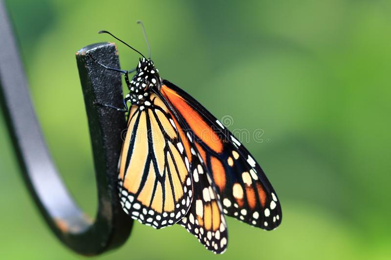 Monarch Butterfly 01 royalty free stock photo