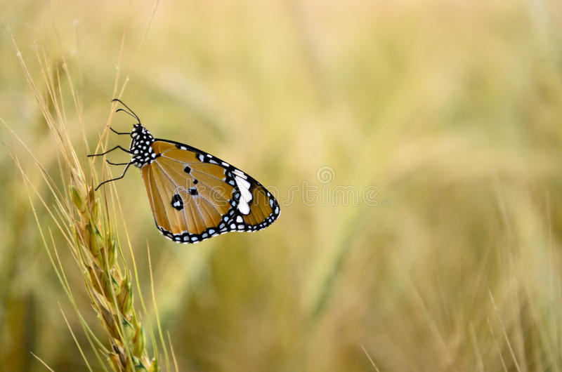 Monarch Butterfly. Closeup of a monarch butterfly sitting on a wheat spikelet royalty free stock photo
