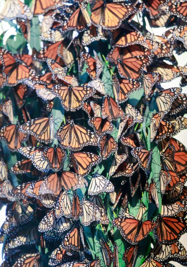 Monarch Butterfly Cluster royalty free stock image