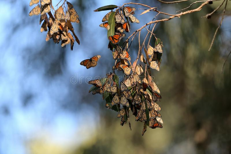 Monarch Butterfly Cluster royalty free stock photos