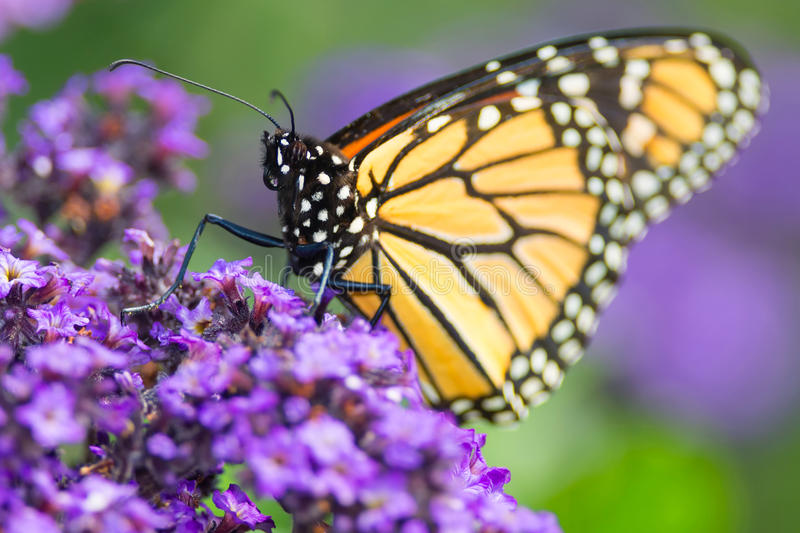 Monarch Butterfly - Danaus plexippus stock photography