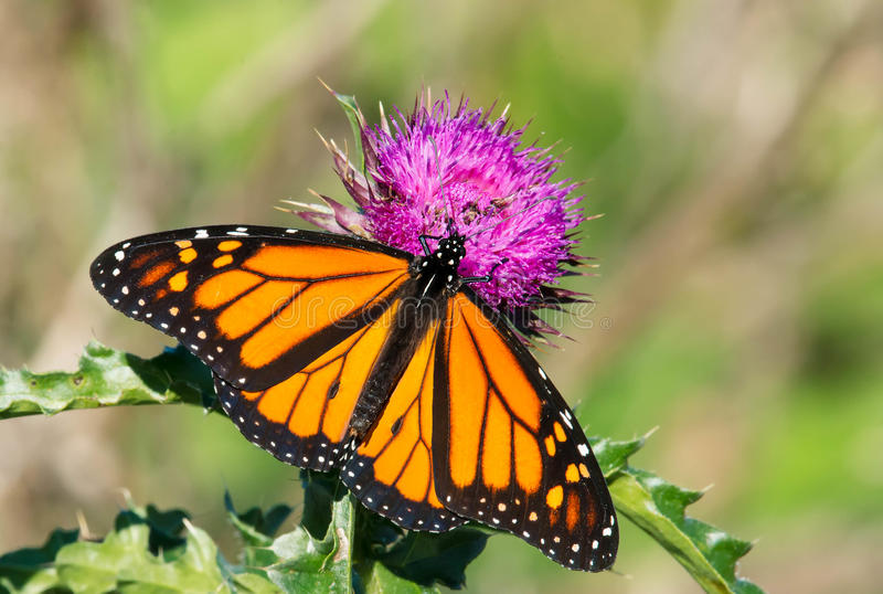 Monarch Butterfly - Danaus plexippus. Monarch Butterfly collecting nectar from a Nodding Thistle flower. Tommy Thompson Park, Toronto, Ontario, Canada stock photos