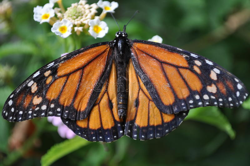 Monarch butterfly. The colors and perfect symmetry of the Monarch butterfly stock photography