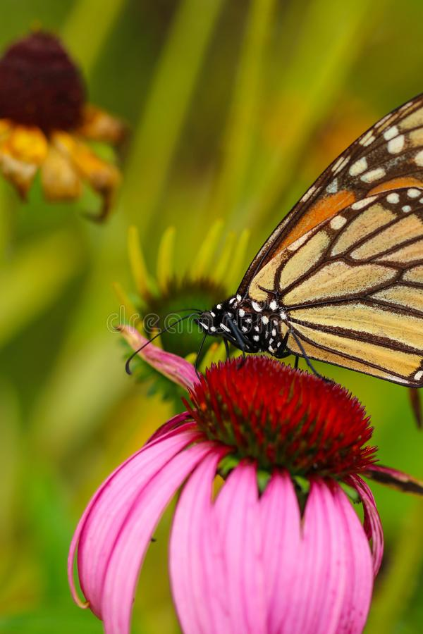 Monarch butterfly on a cone flower. A Monarch butterfly perched on a cone flower along a park trail royalty free stock image