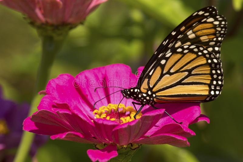 Monarch butterfly on a dahlia flower in Connecticut. stock image