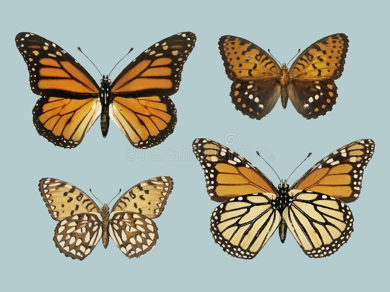 Monarch Butterfly Danais Archippus from Moths and butterflies. Of the United States 1900 by Sherman F. Denton 1856-1937. Digitally enhanced by rawpixel stock illustration
