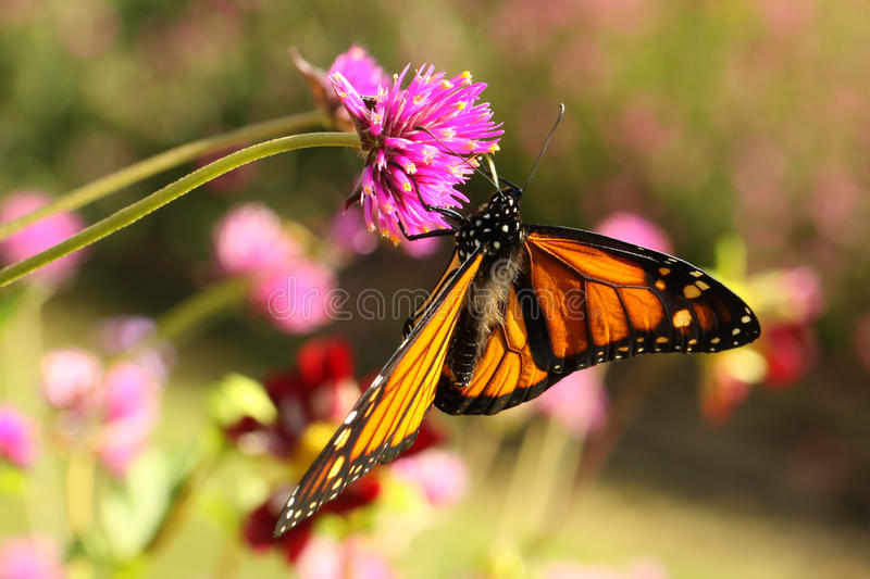 Monarch Butterfly (Danaus plexippus). Monarch butterfly resting on a prairie plant in late summer royalty free stock image