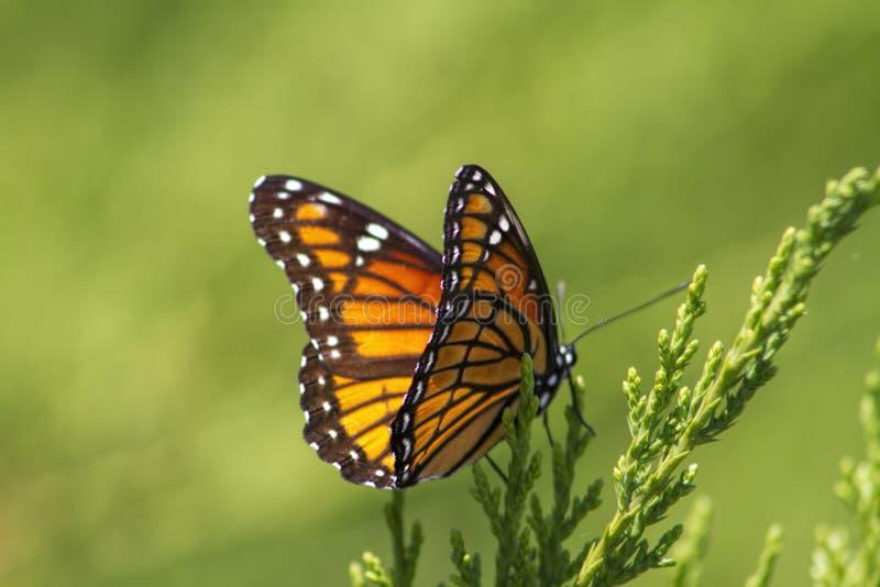 Monarch Butterfly - Danaus plexippus. This is a colorful orange, black, and white monarch butterfly, Danaus plexippus, sitting on a juniper bush stock photography