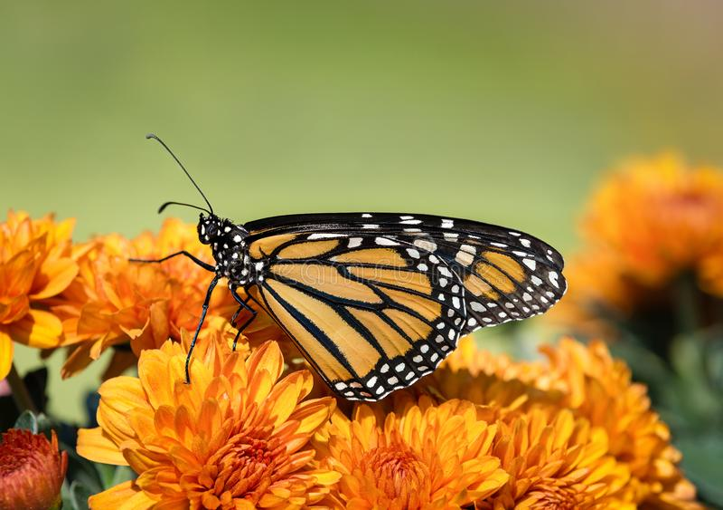 Monarch butterfly Danaus plexippus on autumn flowers. Monarch butterfly Danaus plexippus on orange Mum flowers during autumn migration. Natural green background royalty free stock photo