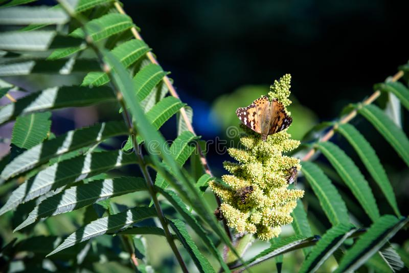 Monarch Butterfly Danaus plexippus . Monarch Butterflies cluster together on the pines and eucalyptus trees during their migration stock image