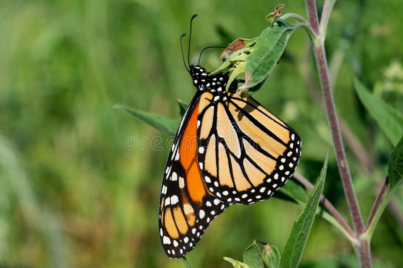 Monarch butterfly Danaus plexippus collecting nectar from flowers stock images