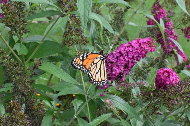 Monarch Butterfly Danaus plexippus eating on Butterfly Bush. Monarch Butterfly Danaus plexippus eating nectar from a Butterfly Bush Buddleja at a Michigan royalty free stock image