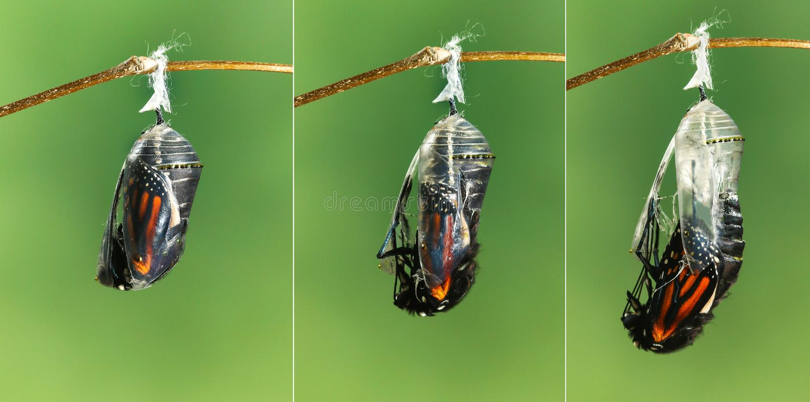 Monarch butterfly emerging from chrysalis to butterfly stock photos