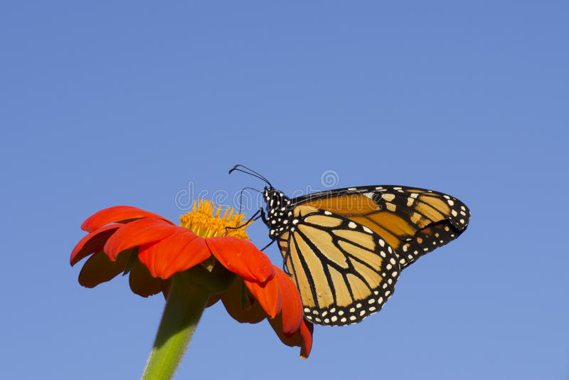 Download Monarch Butterfly stock photo. Image of feeding, flower - 43036736