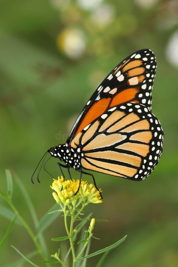 Monarch Butterfly (Danaus plexippus) on goldenrod. Monarch Butterfly (Danaus plexippus) pollinating a goldenrod - Ailsa Craig, Ontario royalty free stock image