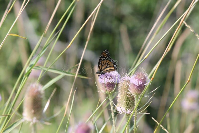 Monarch Butterfly Danaus plexippus on Head of a Teasel Plant. Monarch Butterfly Danaus plexippus on the head of a teasel plant in summer with purple flower ring royalty free stock image
