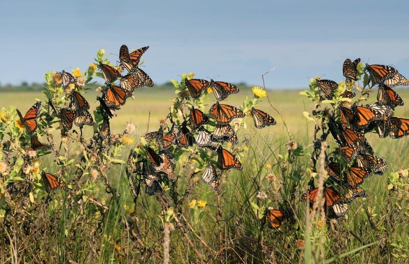 Monarch butterfly Danaus plexippus.Many butterflies while trav stock photography