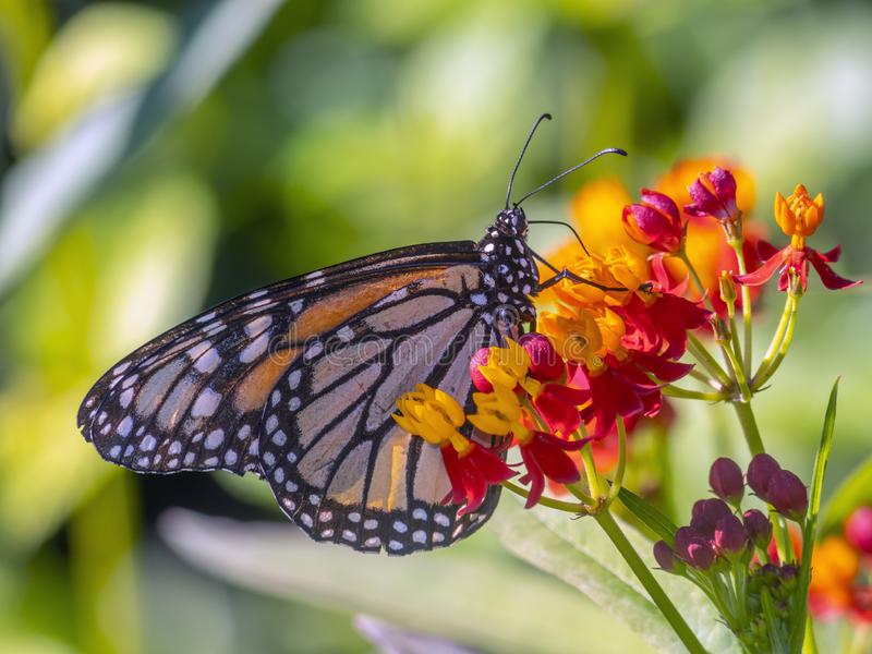 Monarch butterfly,Danaus plexippus stock photography