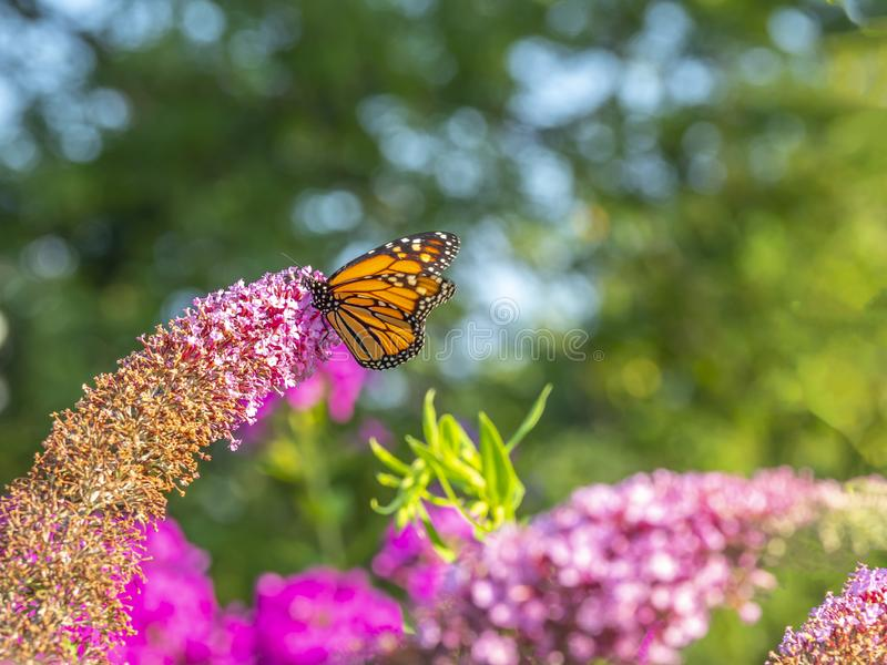 Monarch butterfly,Danaus plexippus stock images