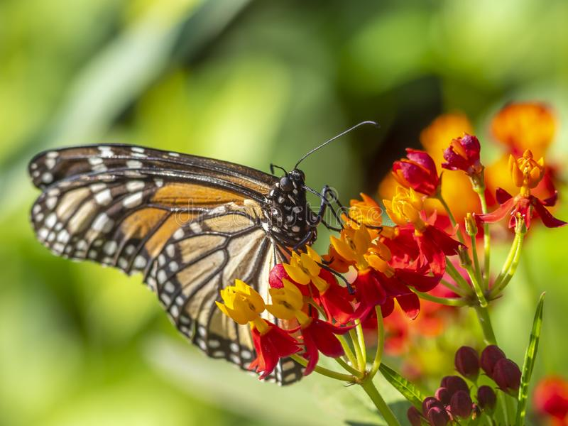 Monarch butterfly,Danaus plexippus stock images