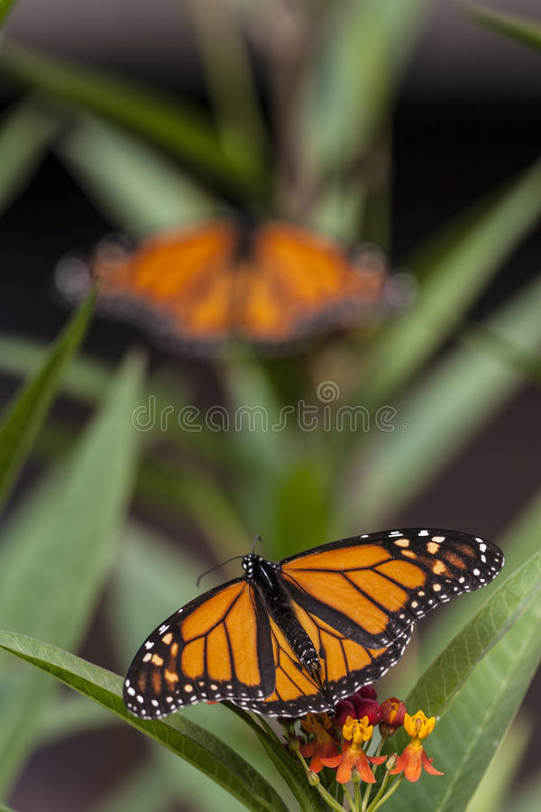 Monarch butterfly (Danaus plexippus) stock photos