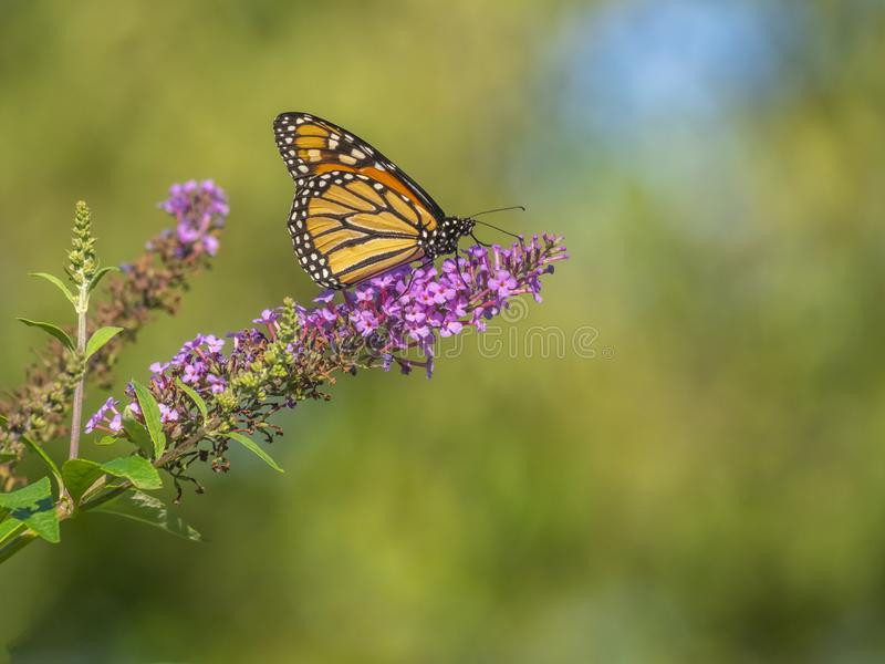 Monarch butterfly,Danaus plexippus royalty free stock images