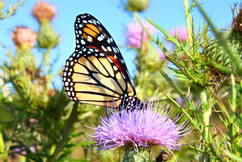 Monarch Butterfly Danaus plexippus. On a thistle flower in northern Illinois stock photo