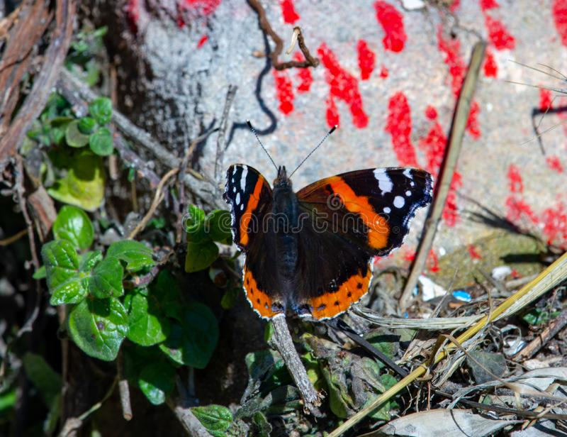 Monarch Butterfly Danaus plexippus. Orange, brown and white royalty free stock photo