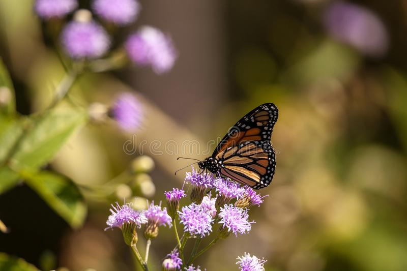 Monarch butterfly Danaus plexippus on a purple flower. In a botanical garden in Naples, Florida royalty free stock images