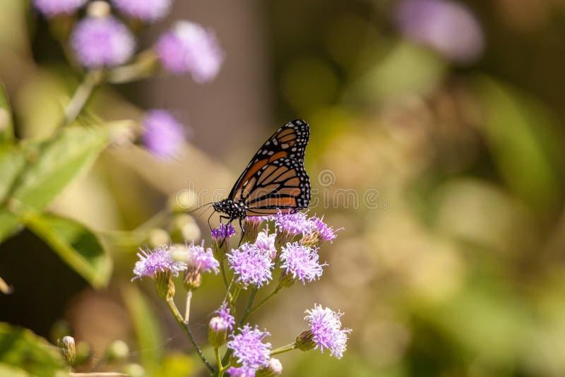 Monarch butterfly Danaus plexippus on a purple flower. In a botanical garden in Naples, Florida stock photos