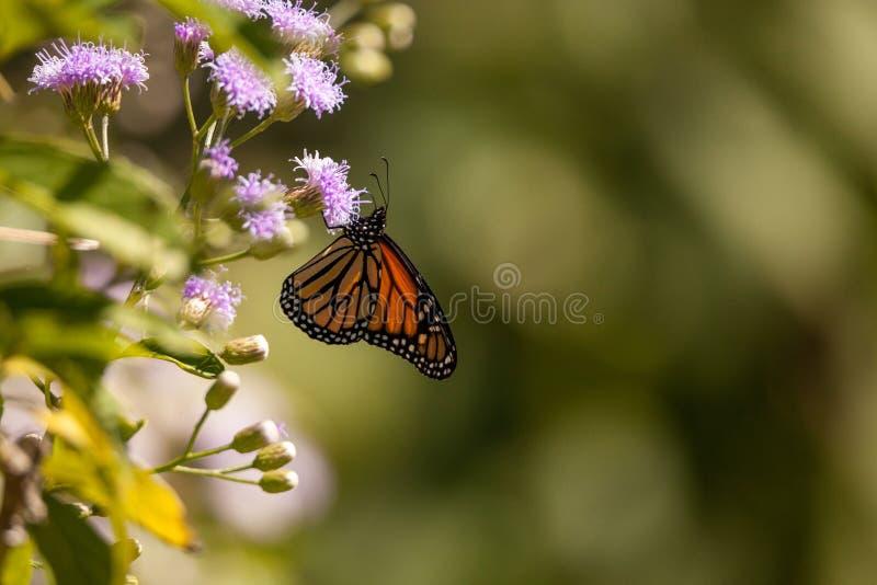 Monarch butterfly Danaus plexippus on a purple flower. In a botanical garden in Naples, Florida royalty free stock image