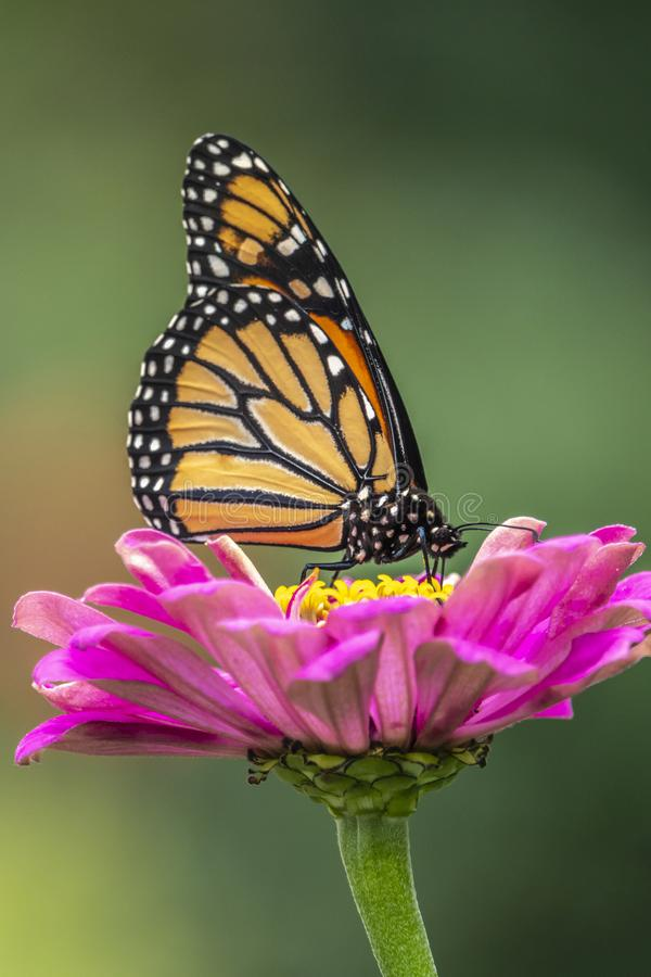 Monarch butterfly, Danaus plexippus stock photography