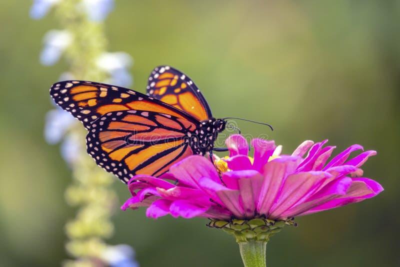 Monarch butterfly, Danaus plexippus stock images