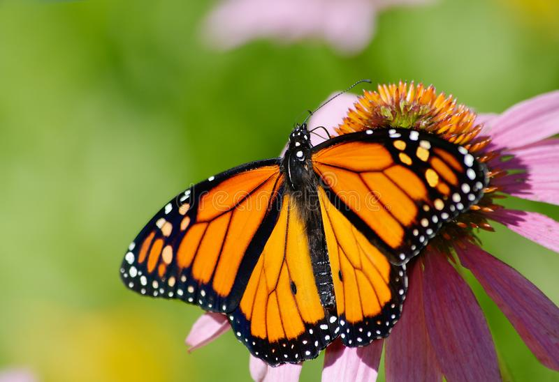 Monarch Butterfly on Purple Coneflower. Monarch butterfly Danaus plexippus with spread open wings feeding on a pink/purple Coneflower Echinacea purpurea with stock image