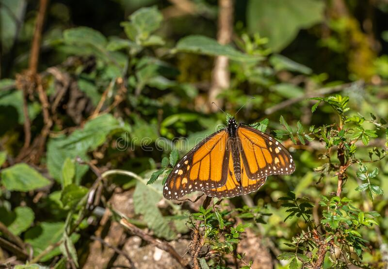 Monarch butterfly Danaus plexippus sunbathing and perching on a plant in the Sanctuary. Of Donato Guerra in Mexico stock image