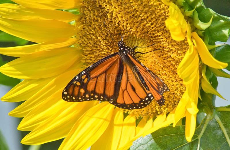Monarch Butterfly Danaus plexippus On Sunflower stock images