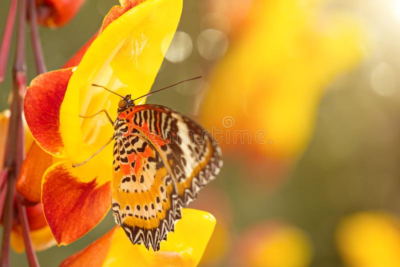 Monarch butterfly Danaus plexippus on thunbergia mysorensis. royalty free stock photo