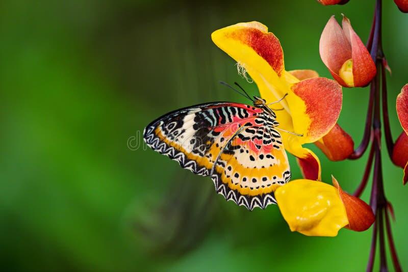 Monarch butterfly Danaus plexippus on thunbergia mysorensis. stock image