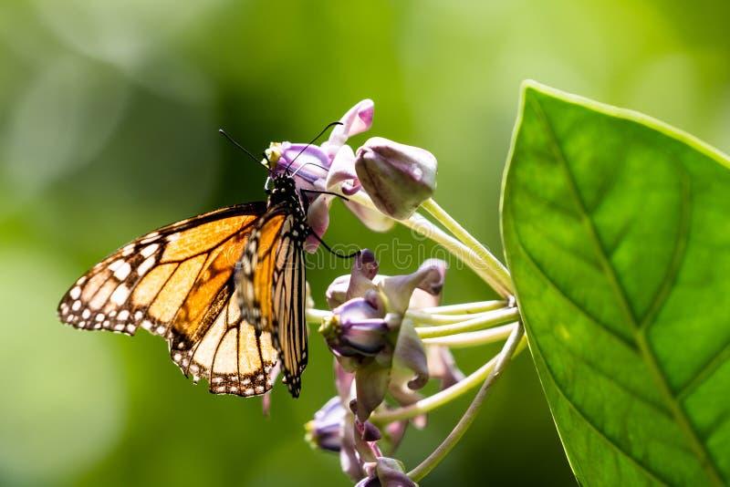 Monarch butterfly Danaus plexippus. In the Waimea Valley on Oahu, Hawaii, USA royalty free stock photography