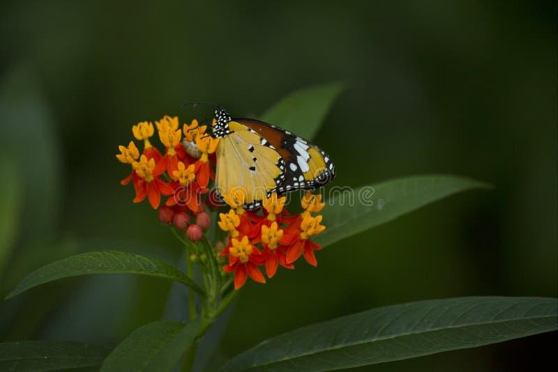 The Monarch butterfly Danaus plexippus. The Monarch butterfly Danaus plexippus in zoo stock photography