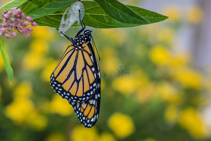 Monarch butterfly newly emerged from Chrysalis on Milkweed. Monarch Butterfly, Danaus Plexppus, on Milkweed stem room for text copy.  Nature and beauty royalty free stock image