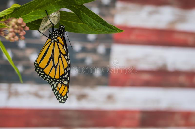 Monarch butterfly newly emerged from Chrysalis on Milkweed. Monarch Butterfly, Danaus Plexppus, on Milkweed stem room for text copy.  Nature and beauty.  USA royalty free stock image